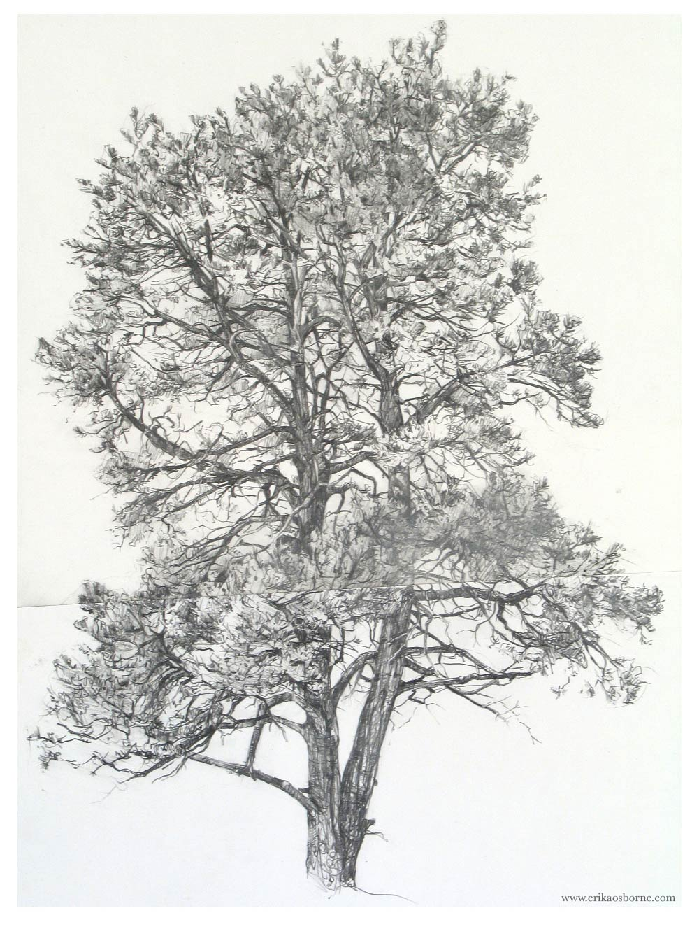 pinyon cebolla canyon nm2005 graphite on paper 17 x 23 10 hours drawing bothered by two bees and sitting on a slant tough tree to draw - Tree Drawings